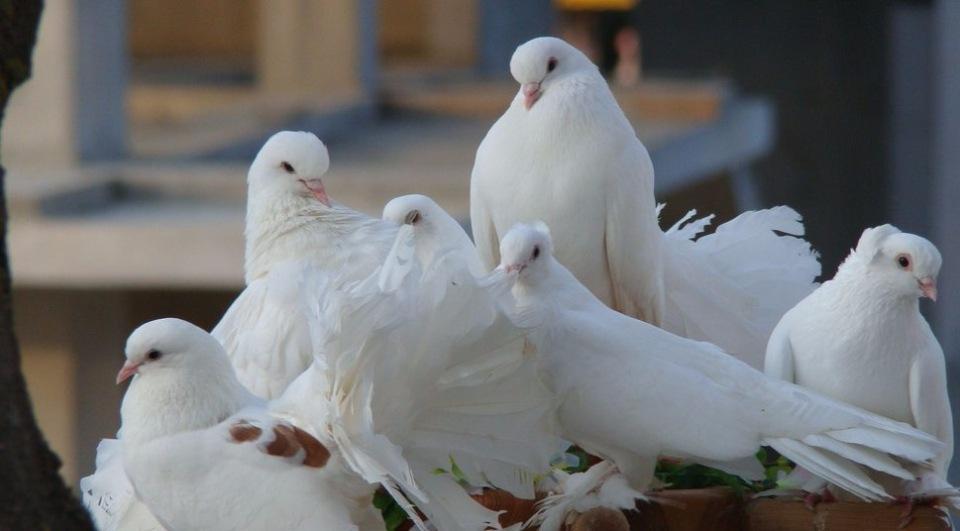 biele dievčatá ako veľké vtáky